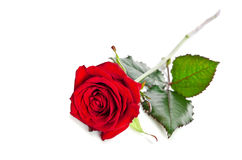Beautiful single red rose Stock Image