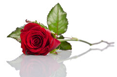 Beautiful single red rose Royalty Free Stock Photos