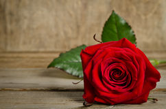 Beautiful single red rose Stock Photography
