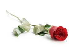 Beautiful Single Red Rose On White Background Stock Photos