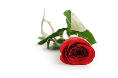 Beautiful single red rose on white background with copy space. Isolated photo Royalty Free Stock Photo