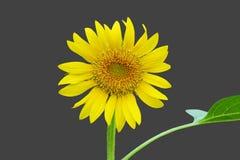 Beautiful single Sunflower. Close up Beautiful single Sunflower Royalty Free Stock Image