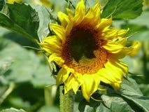 Beautiful Single Sunflower Royalty Free Stock Photos