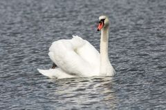 Single swan in the lake swimming isolated Royalty Free Stock Photography