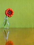 Beautiful Single Vibrant Orange Daisy Stock Image