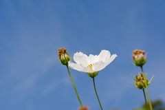 Beautiful single white Cosmos flowers Stock Images