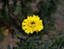 Beautiful single yellow marigold flower, yellow marigold flower in the garden royalty free stock photo