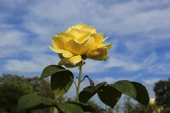 Beautiful single yellow rose. Growing on a bush outdoors against a cloudy blue sky Stock Image