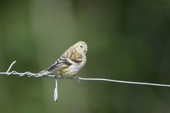 Beautiful Siskin bird Spinus Spinus on barb wire in forest lands. Beautiful juvenile Siskin bird Spinus Spinus on barb wire in woodland landscape setting Stock Photo