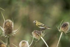 Beautiful Siskin bird Spinus Spinus on teasels in forest landsca. Beautiful Siskin bird Spinus Spinus on teasels in woodland landscape setting Royalty Free Stock Image