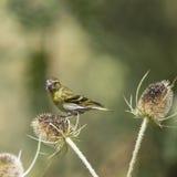Beautiful Siskin bird Spinus Spinus on teasels in forest landsca. Beautiful Siskin bird Spinus Spinus on teasels in woodland landscape setting Royalty Free Stock Photo