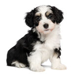 A beautiful sitting tricolor havanese puppy dog. A beautiful tricolor havanese puppy dog is sitting and looking at camera, isolated on white background Stock Photos