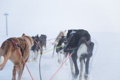 A beautiful six dog teem pulling a sled. Picture taken from sitting in the sled perspective. FUn, healthy winter sport in north. Beautiful, foggy winter royalty free stock images