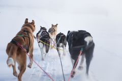 A beautiful six dog teem pulling a sled. Picture taken from sitting in the sled perspective. FUn, healthy winter sport in north. royalty free stock images