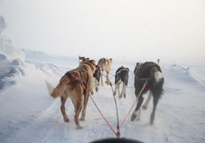 A beautiful six dog teem pulling a sled. Picture taken from sitting in the sled perspective. FUn, healthy winter sport in north. royalty free stock photos
