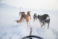A beautiful six dog teem pulling a sled. Picture taken from sitting in the sled perspective. FUn, healthy winter sport in north. stock image