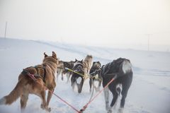 A beautiful six dog teem pulling a sled. Picture taken from sitting in the sled perspective. FUn, healthy winter sport in north. royalty free stock image