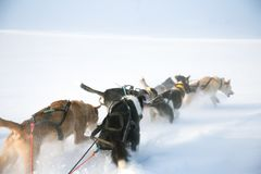 A beautiful six dog teem pulling a sled. Picture taken from sitting in the sled perspective. FUn, healthy winter sport in north. Beautiful, foggy winter royalty free stock image