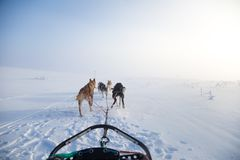 A beautiful six dog teem pulling a sled. Picture taken from sitting in the sled perspective. FUn, healthy winter sport in north. Beautiful, foggy winter royalty free stock photos