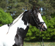 Beautiful skewbald horse with perfect haircut Royalty Free Stock Images
