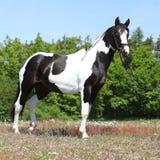 Beautiful skewbald horse with perfect haircut