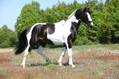 Beautiful skewbald stallion with nice haircut Royalty Free Stock Photography