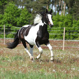 Beautiful skewbald stallion running on flowering pasturage Royalty Free Stock Photos
