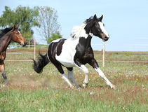 Beautiful skewbald stallion running on flowering pasturage Royalty Free Stock Photography