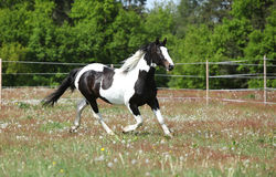 Beautiful skewbald stallion running on flowering pasturage Stock Photography