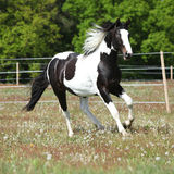 Beautiful skewbald stallion running on flowering pasturage Stock Photos