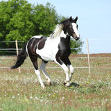 Beautiful skewbald stallion running on flowering pasturage Stock Image