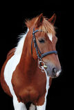 Beautiful skewbald welsh pony portrait Stock Photo