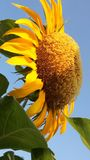 GIANT YELLOW FLOWER royalty free stock image
