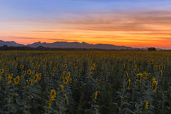 Beautiful sky over sunflower field Royalty Free Stock Image