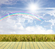 Beautiful sky and Rice field Royalty Free Stock Images