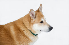 Beautiful sled dog. Siberian Husky mix alert and waiting to be harnessed to a sled Royalty Free Stock Image