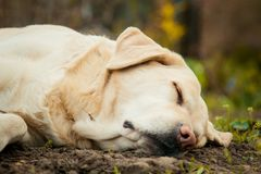 A beautiful sleeping Labrador on grass outdoor stock photos