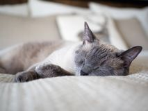 Sleeping Siamese Cat Portrait On Cream Sheets. Beautiful sleeping seal point Siamese cat on a bed with cream sheets and pillows Royalty Free Stock Photo