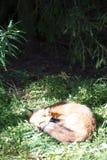 Beautiful sleeping wild fox somewhere in the nature of northern Norway 2016. Beautiful wild fox sleeping in sun somewhere in the nature of northern Norway 2016 Stock Image