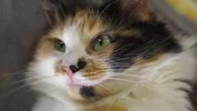 Beautiful sleepy calico cat lie on a ground stock video