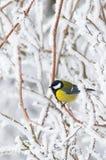 Beautiful small bird great tit in winter Stock Photo