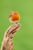 Beautiful small bird Royalty Free Stock Photos