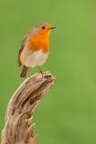 Beautiful small bird Stock Image
