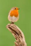 Beautiful small bird Royalty Free Stock Photography