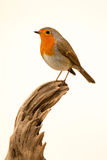 Beautiful small bird. With a orange feathers on a white background royalty free stock images