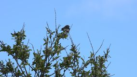 Beautiful small bird sitting on tree top on blue summer sky background looking out over the northern landscape. Closeup video stock video