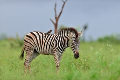 Free Beautiful Small Black Bird Sitting On The Back Of A Zebra On The Grass Covered Fields Stock Photo - 166527060