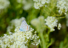 Beautiful small Blue butterfly, Polyommatus icarus, on a wild meadow. Stock Photo