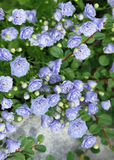 Beautiful small blue flowers Royalty Free Stock Images