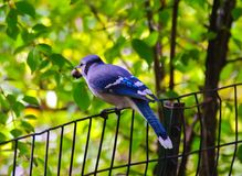 Beautiful small bluebird with very big treasure on fence in Central Park, NYC. Close-up of a strikingly beautiful bluebird holding a large berry or other big Stock Image